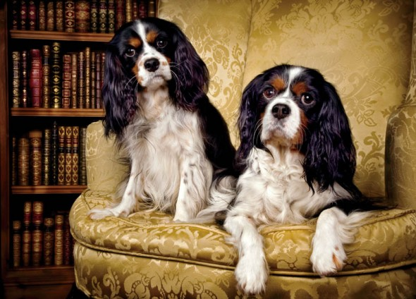 King Charles Spaniels photographed by Peter Nash